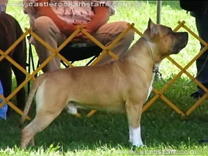 amstaff CH_CASTLE_ROCKS_CA_BLU_STAR_2
