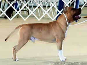 amstaff CH_CASTLE_ROCKS_CA_BLU_STAR_4