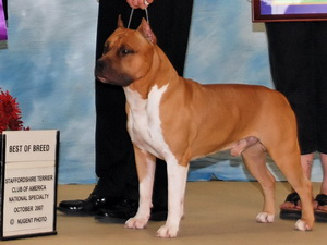 amstaff CH_CASTLE_ROCKS_CA_BLU_STAR_7